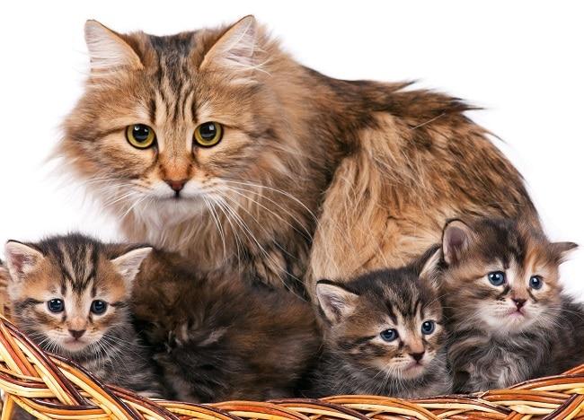 Siberian cat history