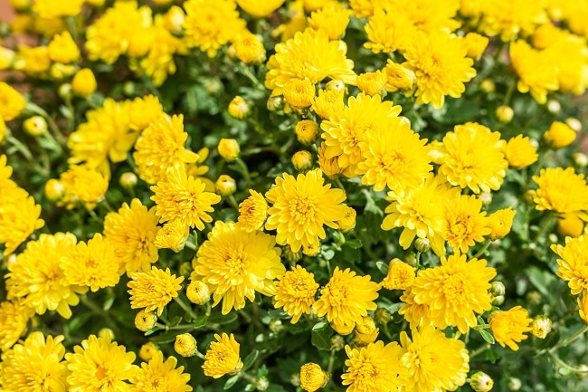 chrysanthemums and cats