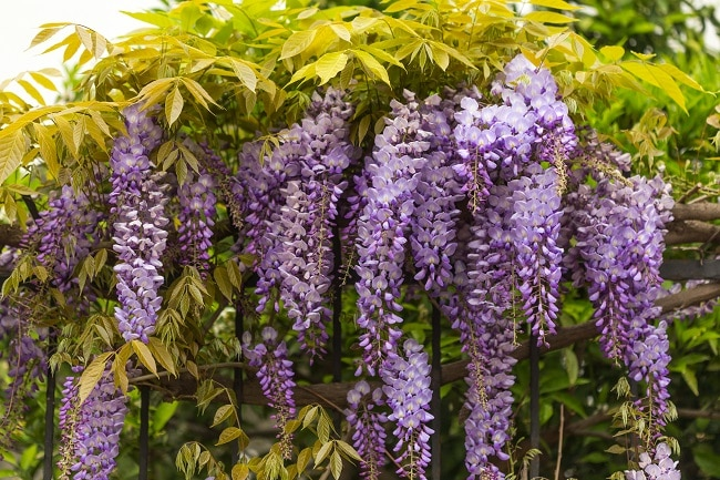 wisteria toxic to cats