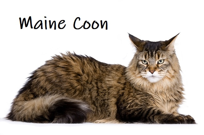 Maine Coon American Cat