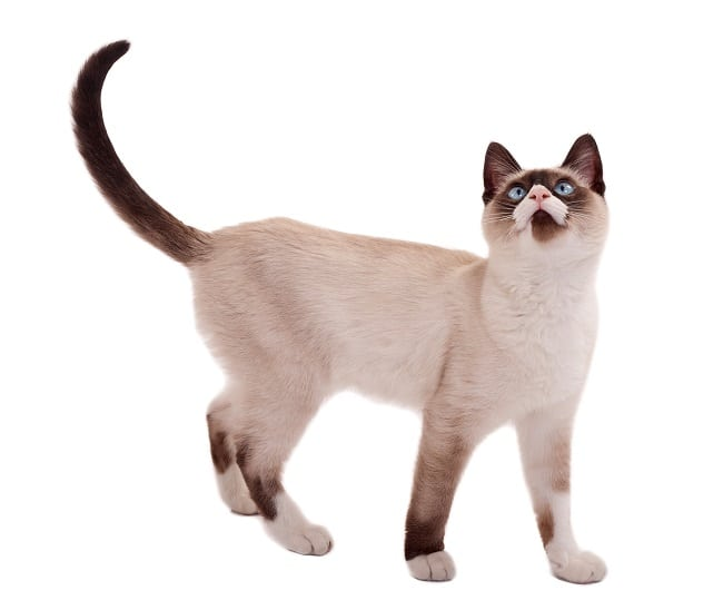Siamese cat Appearance