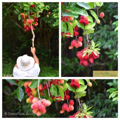 costa rica mamon chino fruit
