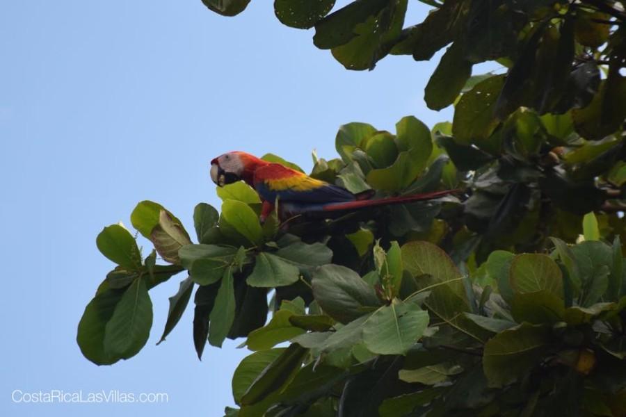 Costa Rica lapa san buenas