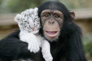 chimp_and_tiger