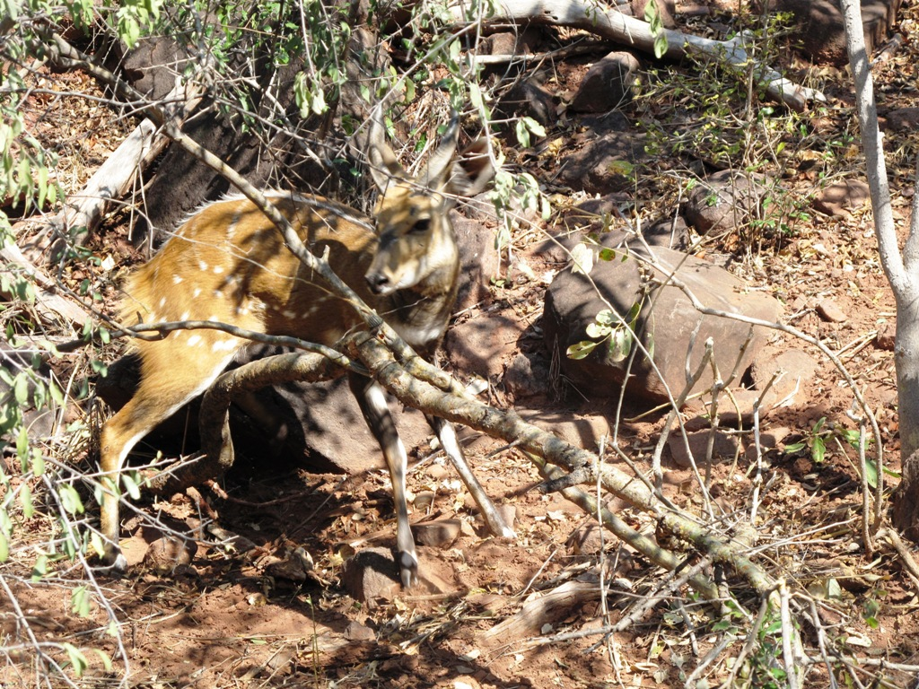 We come across a bushbuck caught in a snare