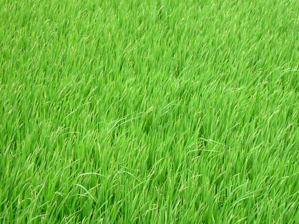 rice field vn org