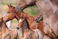 HQH foals