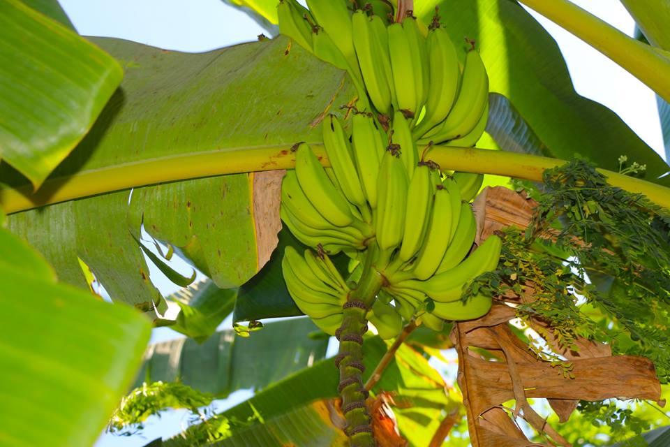 ¿Dónde comprar plátanos por mayor para vender en Managua?