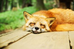 A sleeping fox