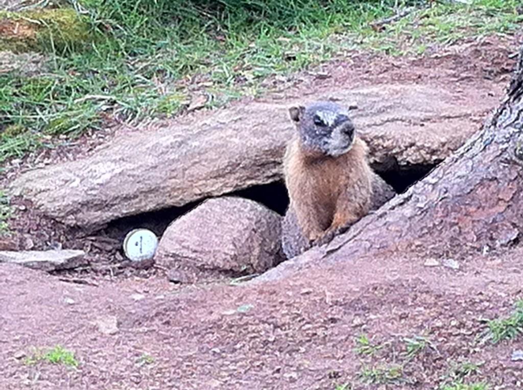 golfmarmot