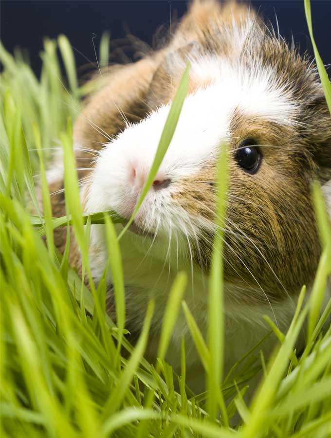 guinea pig eating animal grass