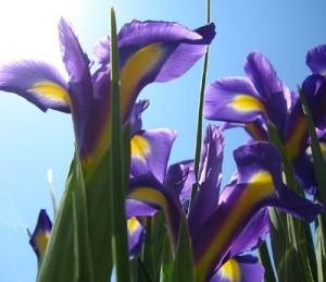 Love at First Plight News - Irises in sunlight
