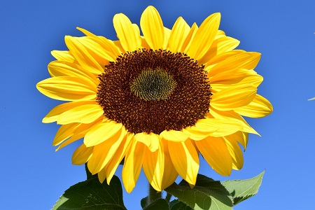 perspective-book-3-summer-update-a-happy-sunflower