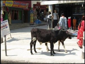 121 - How did the cow cross the road