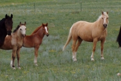 One eye, palomino, gg and three foals 2004
