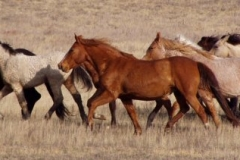 wild bunch running