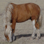 A curly palomino stallion