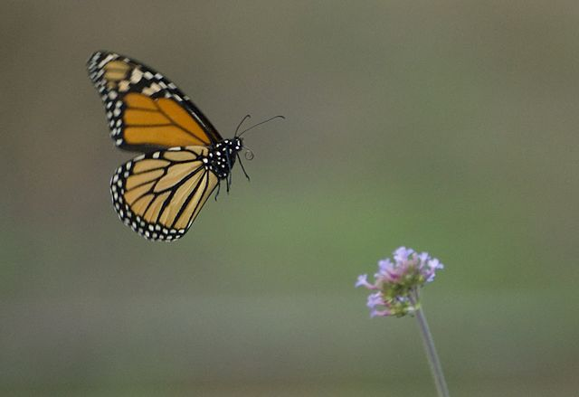 640px-Butterfly_in_flight_(1497161126)
