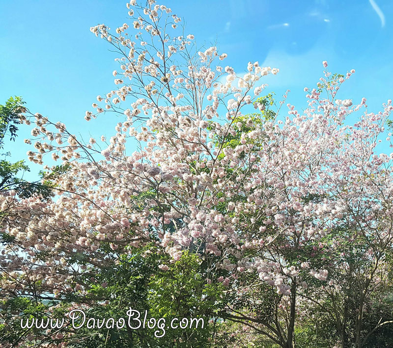 cherry-blossoms-in-cagayan-de-oro-mindanao-philippines-pink-trees-pink-trumphets