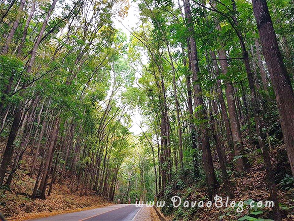 Bohol-Tourist-Spot-Bohol-Man-Made-Forest