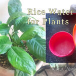 Rice-Water-BEST-Organic-Plant-Fertilizer