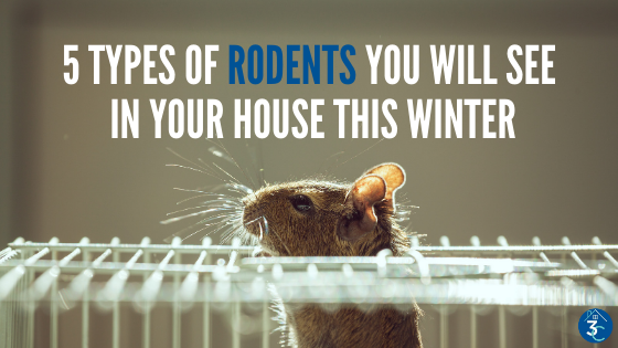 Five Winter Rodents to Look Out For in the Coming Months