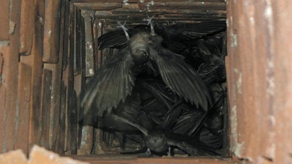 bats in chimney