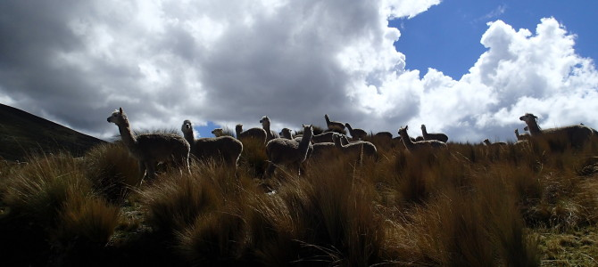 Puna Grasslands