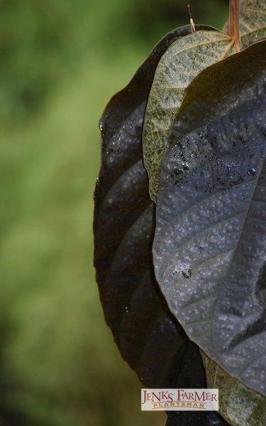 Fig with Muhlenbergia dumosa behind