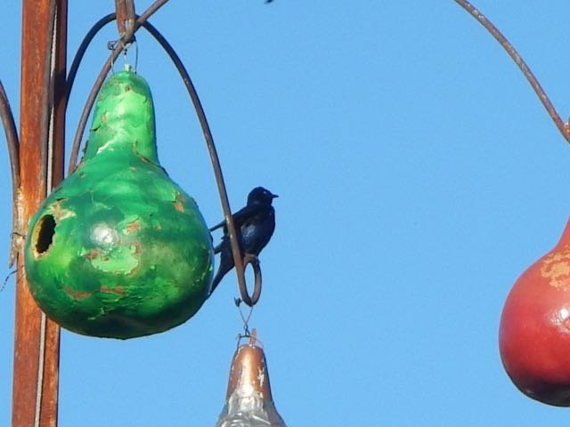 Get your Purple Martin gourds ready