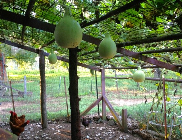 gourds growing last summer