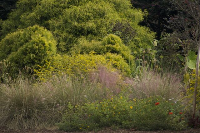 conifers in sweet grass