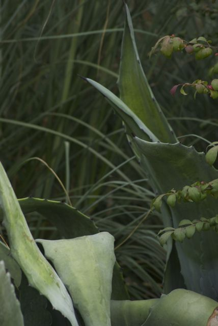 Agave & Pampas