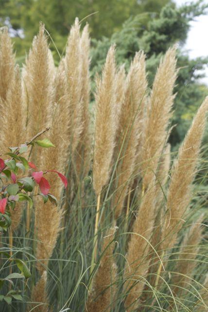 Pampas Seedheads