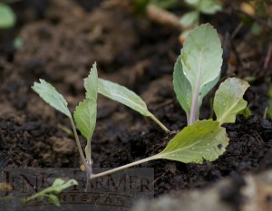 Cabbage seedlings hardly flinch when moved in the drizzle.