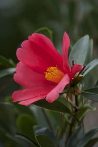 """Camellia azalea.  The """"everflowering"""" camellia.   It has about a dozen flowers yesterday, July 14."""