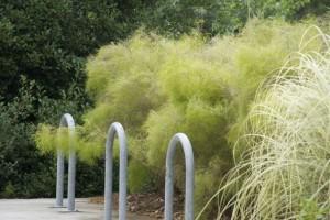 Muhlenbergia dumosa.  One of my favorite grasses.