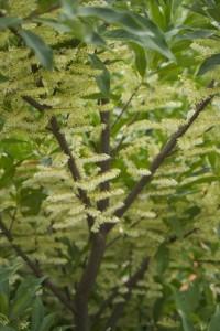Quecus sartorii  --- stunning flowered oak?   It was full of bees.
