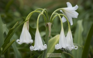 Crinum 'White Queen' in flower on May 25, 2014