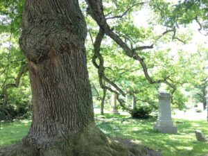 This oak has been core sampled and is an estimated 300 years old.
