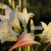 Flowers vary from pure white to pink but most are striped.