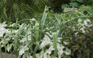 Crinum bulibispermum does most flowering by late summer but leaves are stunning gray and sculptural.