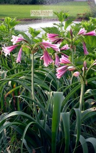 Since this Crinum flowers mostly in the spring, I often plant with hibiscus, chrysanthemum or four o'clock which will grow over the crinum and flower later.