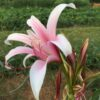 One of my freaky Crinum bulbispermum selections.