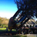 A 96 inch tree spade plants a mature live oak.