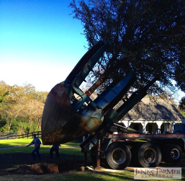A 96 inch tree spade plants a mature live oak.
