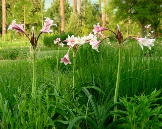 Orange River Lily in Meadow, April 23