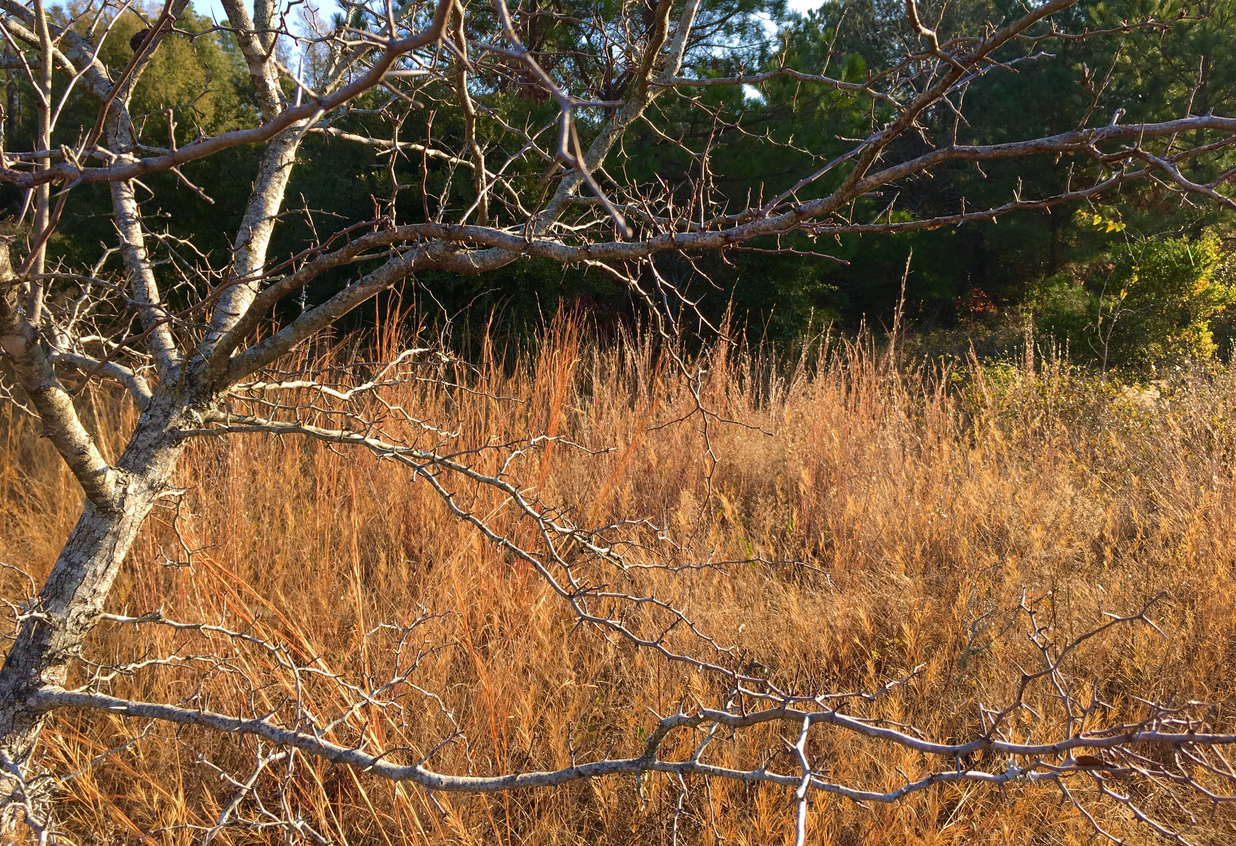 Haw Tree in the grassy spot in the woods.