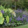 Plectranthus 'Purple Martin'