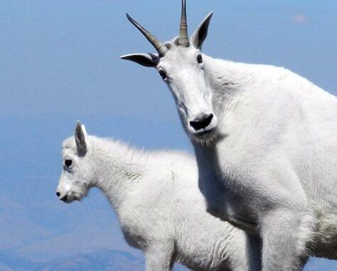 Goat Hunt Paused in Grand Teton